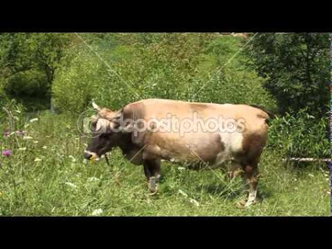 depositphotos 13400324 Milk cow with big udder