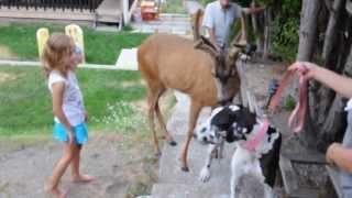 Deer Loves Dane - Deer wants to mate with Dane