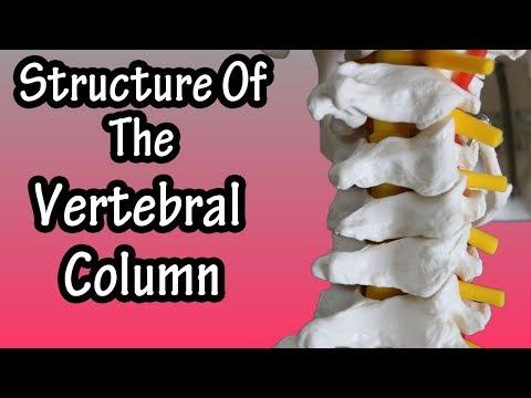 Structure Of The Vertebral Column