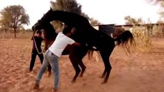 Marwari Stallion covering with command