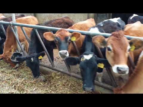 Govt Cattle Breeding & Dairy Farm Harichand KPK Pakistan