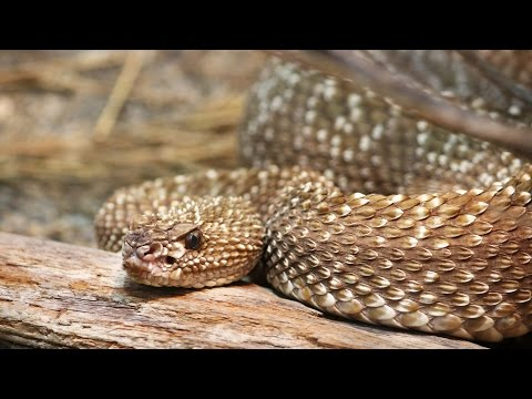 Protect your dog from a rattlesnake bite!