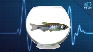 Zebrafish: The New Lab Rat
