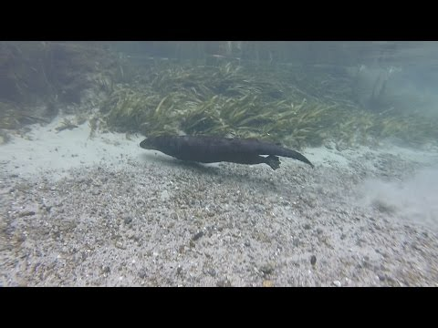 Snorkeling & Swimming With River Otters At Kelly Springs!!! (6.9.2015)