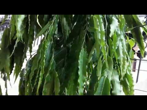 How to grow ashoka (polyalthia longifolia) tree and it's care