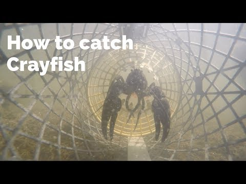 How to Catch Crayfish (UK Crayfishing)