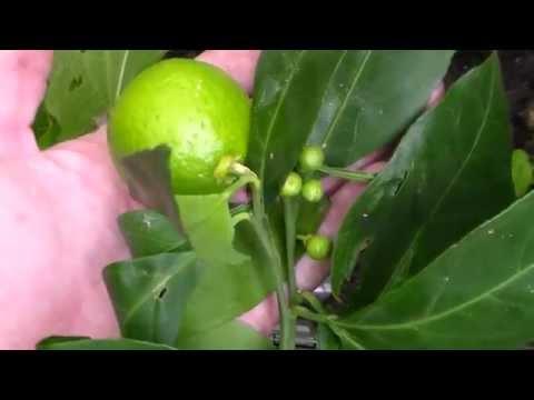 Grow Citrus Outside In Snow!! Which One To Get Owari Satsuma Mandarin Orange Tree