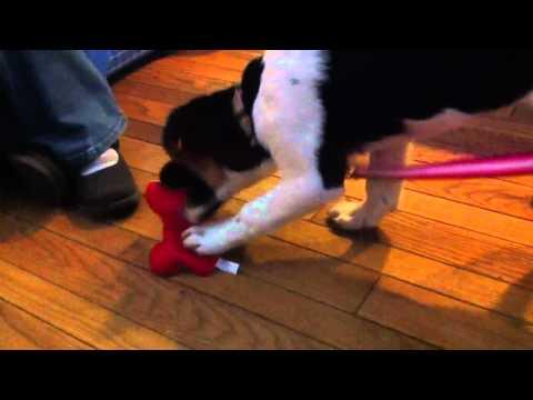 Border collie Burmese mountain dog puppy playing