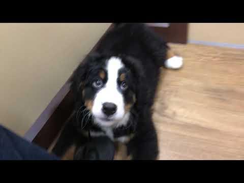 Test Video: Cute Bernese Mountain Dog Puppy