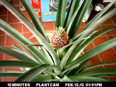 Pineapple Timelapse, Part II - flowering