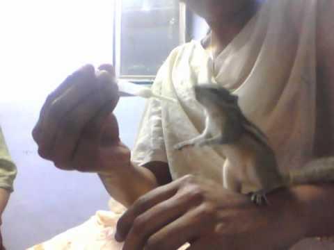 Squirrel drinking Milk