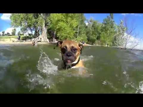 Swimming Boxer at the Lake
