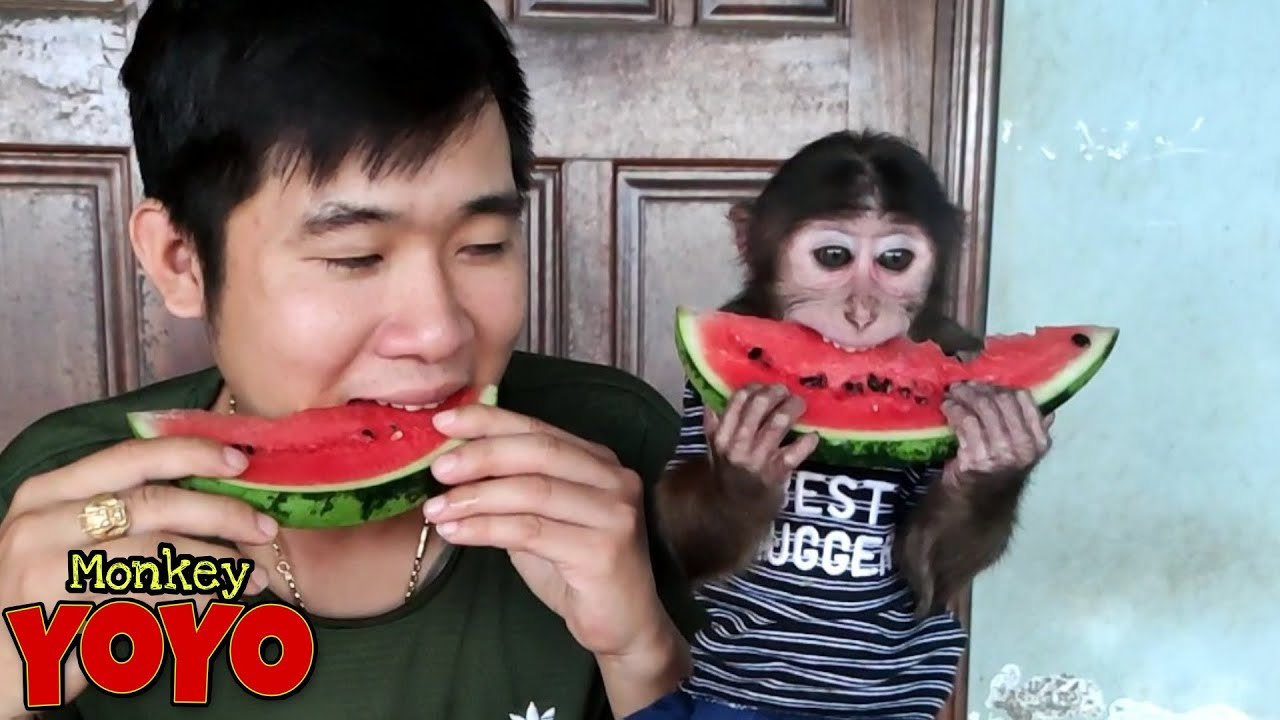 YoYo JR is competing to eat watermelon with  dad