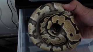 An Inside Look How I Know When It S Feeding Time For My Ball Pythons