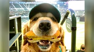 Funniest GOLDEN RETRIEVERS and much more - LAUGHING GUARANTEED!