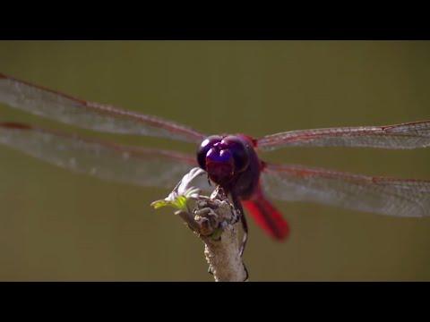 How Do Dragonflies See The World? | Animal Super Senses | BBC