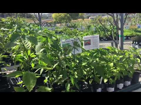 Very Rare Pepper Plants and Fruit Trees  at Calpoly Pomona Farm Store