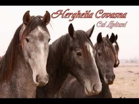 Herghelia Covasna - Cai lipitani de vanzare 0764-333444