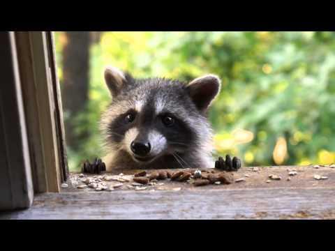 Orphan Baby Raccoon
