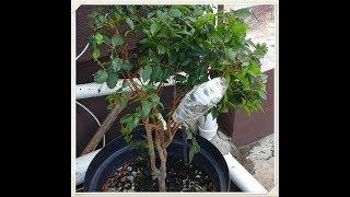 Alporquia Jabuticaba,aprenda  A  Clonar  Sua  Frutiferas,   Muito Fácil ,passo A Passo ,confiram🍑🍒