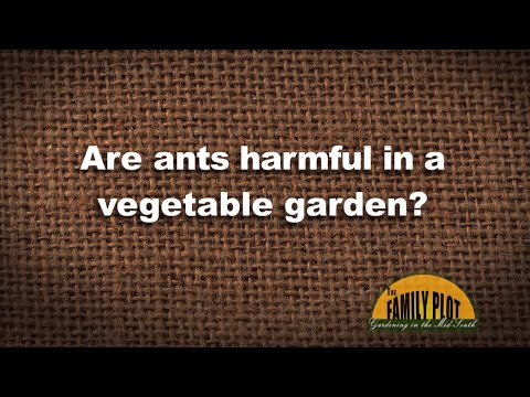 Q&A - Are ants harmful in a vegetable garden?