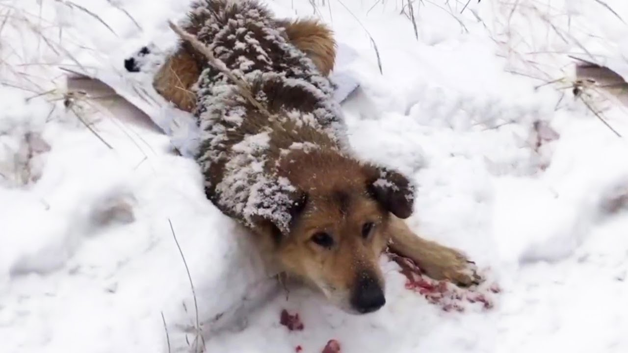 Help the dog lying crying on the snow with many bites on the body.