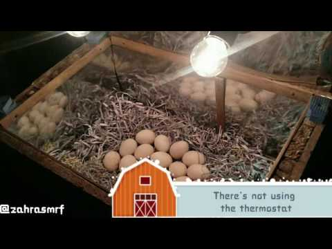 INCUBATING THE EGGS IN MY HOMEMADE INCUBATOR