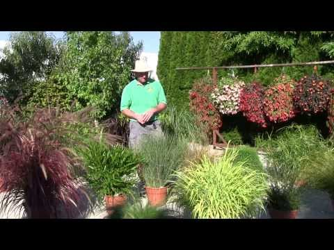 Ornamental Annual Grasses - Part 2