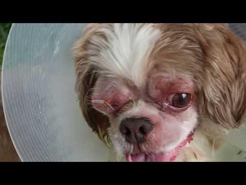 A Shih Tzu bites the owner whenever he applies eye drops - deep corneal ulcer.