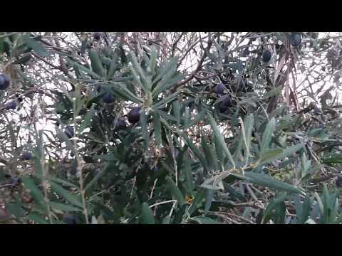 Olive Preserving?