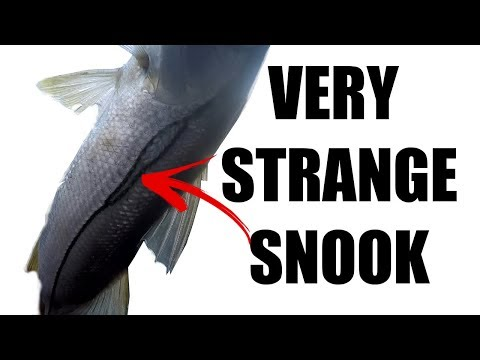 Catching Snook With Shrimp Spanish Mackerel Trout On Lures