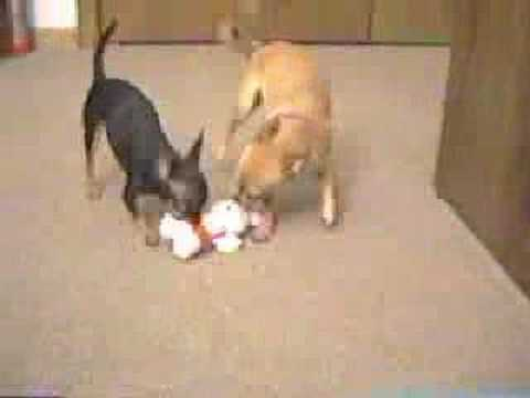 Two Chihuahua playing