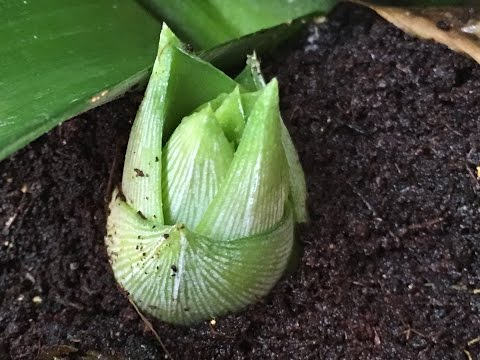 Pineapple Plant Producing Babies