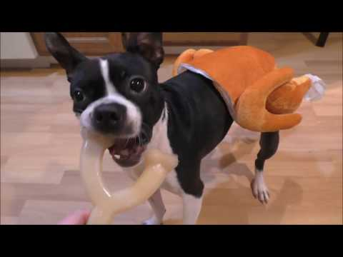 Dogs in Turkey & Chef Costume Chase Thanksgiving Leftovers