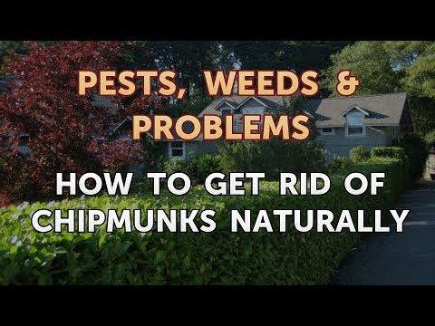 How to Get Rid of Chipmunks Naturally