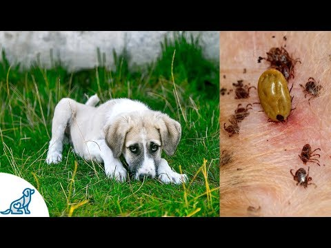 Symptoms of Lyme Disease in Dogs- And Why It's SO Dangerous!