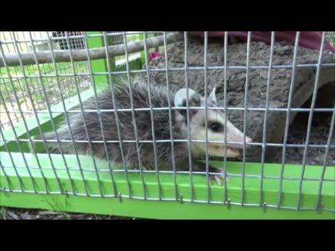 raising possums part 2 their cage