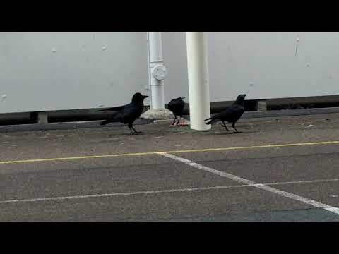 Crows Stole a Waffle and Ate it