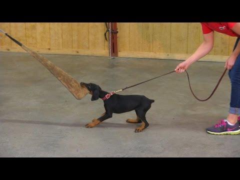 9 Wk Doberman Puppy