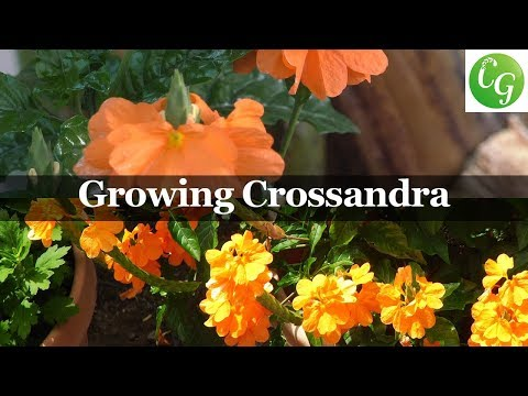 Flora Series - Growing Crossandra Sundance Firecracker Plant