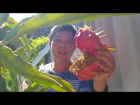 When is the Right Time to Cut for Sweet Dragon Fruit