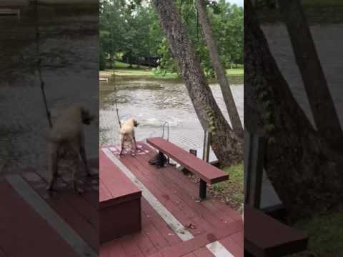Dogs panic when owner swings out and falls into lake, then swim out to rescue him.