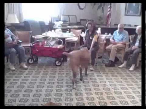 King Solomon ,Cane corso, Therapy Dog