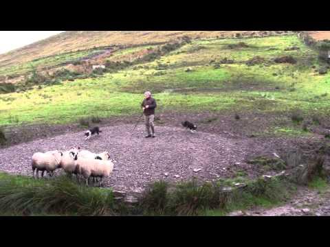 Sheep Dog Demonstration - Ireland