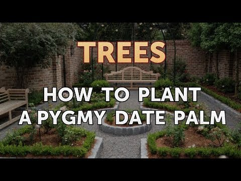 How to Plant a Pygmy Date Palm