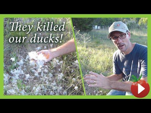 Predators! 10 Methods I Use to Keep Livestock Safe(r)