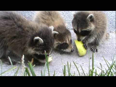 Baby Raccoons!