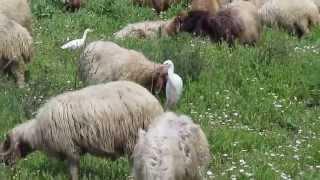 Sheep , רעיית צאן