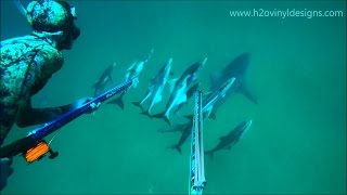 Cobia Spearfishing off Bull Sharks - Summer 2016 - h2o vinyl designs
