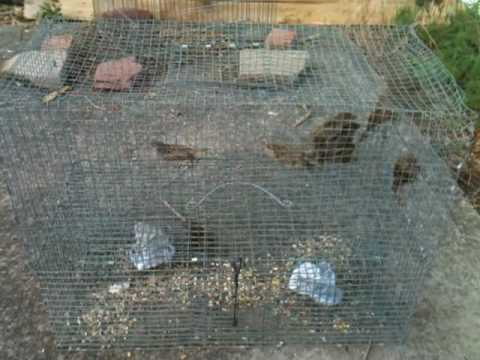 Trapping Sparrows